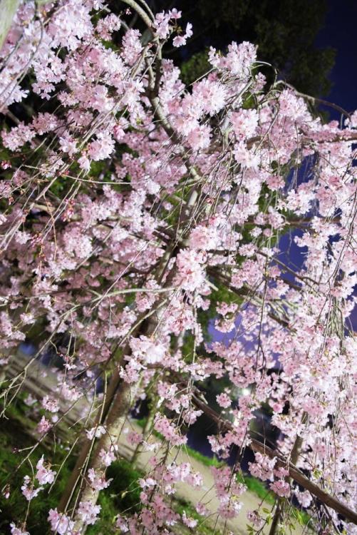 桜(文:印刷製本部 田辺)